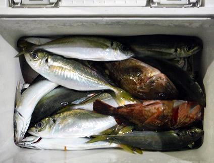半夜アジ根魚便の釣果